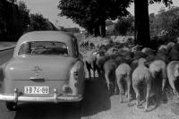 Fahrzeug auf dem Land, Schafe am Straßenrand, DDR, Anfang 60er Jahre