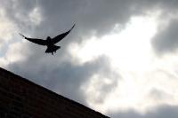 aufsteigender Vogel am düsteren Himmel