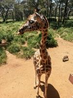 Giraffen in Nairobi