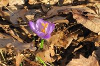 Blühender Krokus im trockenen Laub