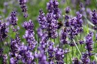 Duft der Provence: Lavendel in einem Garten