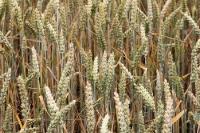 Getreideähren auf einem Feld