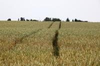 Getreidefeld im östlichen Brandenburg