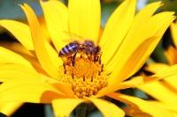 Honigbiene auf einer gelben Blüte