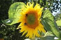 Hummel auf einer Sonnenblume