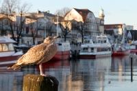 Möwe am Alten Strom in Warnemünde an der Ostsee an einem milden Wintertag