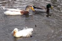 Enten auf einem Teich