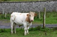 ein irisches Rind, Kühe gehören in Irland zum Alltag