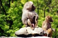 Wer wird denn gleich seinen Schwanz, äh Penis zeigen? Affe lässt fröhlich hängen ...