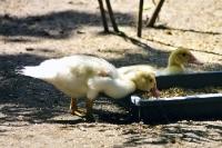 gelbe plüschige Entenküken bei der Futtersuche