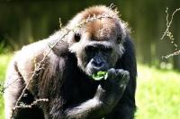 eine Gorillamännchen bei der Futtersuche