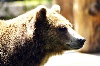 ein Portrait von einem charismatischen Grizzly / Braunbär ...