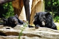 zwei Schwarzbären faulenzen in der Sonne