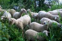 Schafe im satten Grün