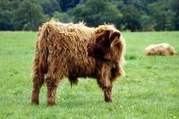 kleines Hochlandrind in Schottland