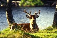 Hirsch in den schottischen Highlands