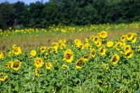 Eine Feld voller Sonnenblumen im Wendland