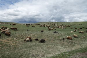 Schafherde in Armenien