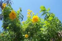 leuchtend gelbe Blüten an einem Busch