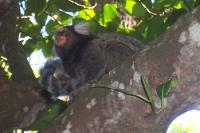 Äffchen in einem Baum am Hang des Zuckerhuts in Rio de Janeiro