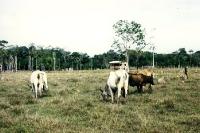 Rinder auf einer Lichtung im Regenwald Amazoniens, Brasilien