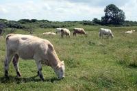 weidende Kühe auf Hiddensee