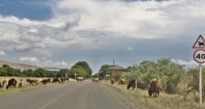 Kühe haben Vorfahrt!