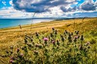 Schottische Distel an der Ostküste Schottlands