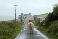 ein junger Bulle dreht durch, im Galopp die irische Landstraße entlang, Kühe sind in Irland Alltag
