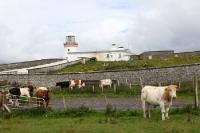 irische Kühe am Leuchtturm am Point Ed Dunkineely in Irland