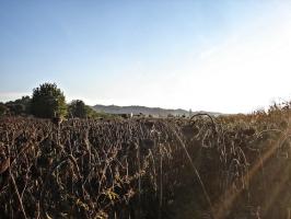 Sonnenblumenfeld bei Koprivnica