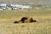 Kamel am Stadtrand von Ulaanbaatar