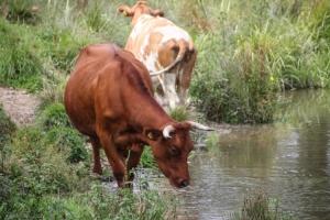 Kühe im polnischen Riesengebirge