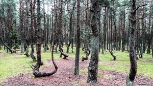 Tanzender Wald im Oblast Kaliningrad