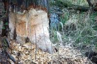 Biberfraß an einem Baum am Ufer der March