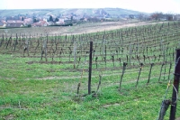 Weinberge / Weinanbau in Niederösterreich