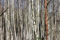 Man sieht den Birkenwald vor lauter Bäumen nicht ...